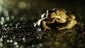 Bureaubladachtergronden Kikker Close-up Onscherpe achtergrond True toad