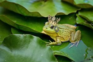 Bilder Frosche Krone ein Tier