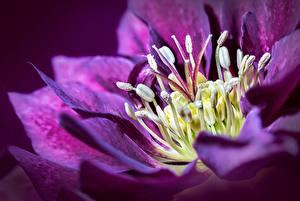 Bilder Christrosen Großansicht Violett Blumen