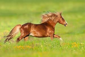 Tapety na pulpit Koń Widok z boku Trawa Zwierzęta