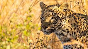 Fotos Leopard Gras Schnauze Schnurrhaare Vibrisse Blick ein Tier