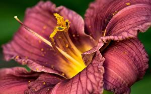 Fotos Lilien Großansicht Violett