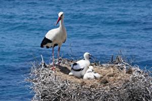 Hintergrundbilder Kücken Vogel Storch Nest