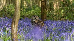 Wallpaper Owl Eurasian eagle-owl Bird