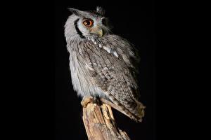 Hintergrundbilder Eulen Schwarzer Hintergrund Southern White-Faced Owl ein Tier