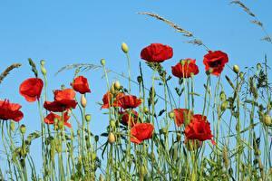 Fotos Mohn Blütenknospe Rot Blumen
