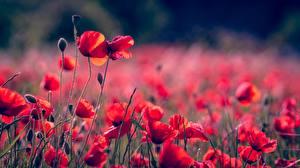 Fotos Mohnblumen Blütenknospe Rot Unscharfer Hintergrund Blüte