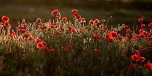 Bilder Mohnblumen Viel Rot Blumen