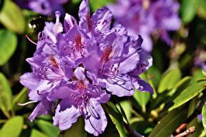 Fotos Rhododendren Hautnah Violett Blüte