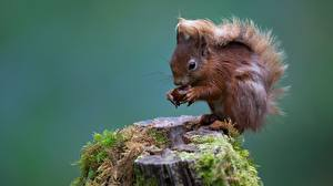 Images Rodents Squirrels Moss Tree stump animal