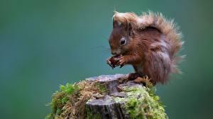 Bilder Nagetiere Hörnchen Laubmoose Baumstumpf ein Tier