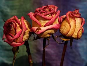 Tapety na pulpit Róża Zbliżenie Trzy Suchy kwiat