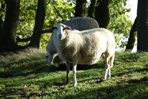 Pictures Sheep Grass 2