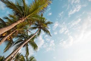 Fotos Himmel Palmengewächse Untersicht Ansicht von unten Bäume