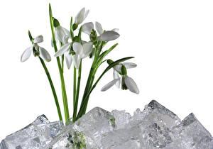Bilder Schneeglöckchen Weißer hintergrund Eis Blumen