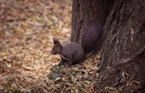 Fotos Hörnchen Herbst Blatt ein Tier
