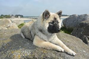Bilder Stein Hund Eurasier Liegen Pfote
