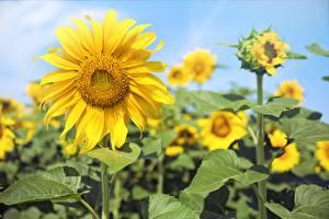 Hintergrundbilder Sonnenblumen Unscharfer Hintergrund