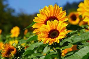 Fotos Sonnenblumen Bokeh Gelb Blumen