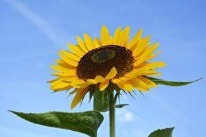 Photo Helianthus Closeup flower