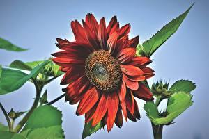 Fotos Sonnenblumen Hautnah Rot Blüte