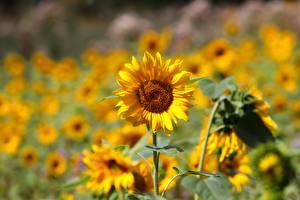 Bilder Sonnenblumen Gelb Unscharfer Hintergrund Blüte