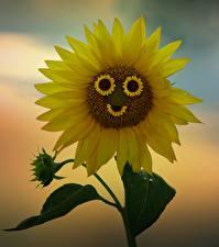 Bilder Sonnenblumen Gelb Lächeln Blüte