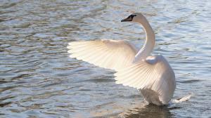 Fonds d'écran Cygne Eau Oiseaux Aile Blanc un animal