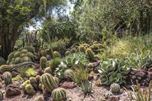 Fotos Vereinigte Staaten Garten Kakteen Kalifornien Strauch Botanical Gardens in San Marino Natur