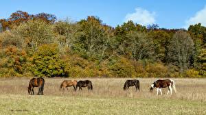 Fotos Vereinigtes Königreich Herbst Pferde Strauch Bäume Bradenham Estate Natur Tiere