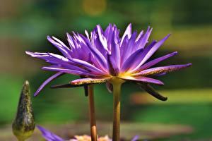 Hintergrundbilder Seerosen Hautnah Violett Blüte