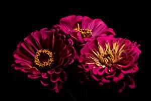 Bilder Zinnien Großansicht Schwarzer Hintergrund Drei 3 Burgunder Farbe Blumen