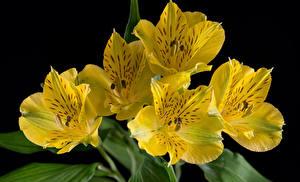 Hintergrundbilder Alstroemeria Hautnah Schwarzer Hintergrund Gelb
