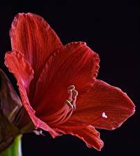Fotos Amaryllis Hautnah Schwarzer Hintergrund Rot Blüte