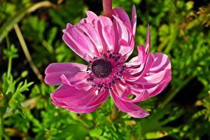 Fotos Anemone Nahaufnahme Unscharfer Hintergrund Rosa Farbe