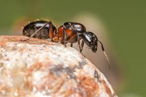 Hintergrundbilder Ameisen Hautnah ein Tier