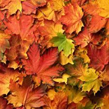 Desktop hintergrundbilder Herbst Viel Blatt Ahorn Natur