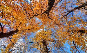 Fotos Herbst Bäume Baumstamm Untersicht Ansicht von unten Natur
