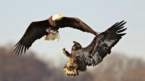 Photo Bird Eagle Fight 2 Hunt Bald Eagle