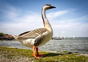 Fotos Vögel Gänse Küste Seitlich Tiere