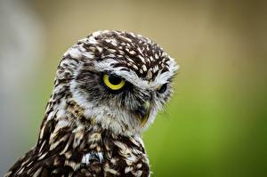 Images Bird Owl Head Staring Athene cunicularia animal