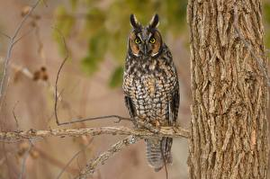 Pictures Bird Owl Branches Staring Long Eared Owl