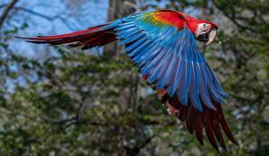 Wallpapers Bird Parrot Ara (genus) Flight Wings
