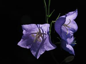 Hintergrundbilder Glockenblumen Hautnah Schwarzer Hintergrund Violett Blumen