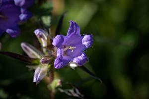 Hintergrundbilder Glockenblumen Hautnah Violett Unscharfer Hintergrund Blüte