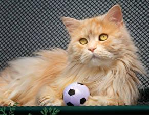 Hintergrundbilder Hauskatze Ball Starren Orange rot Flauschige ein Tier