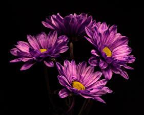 Hintergrundbilder Chrysanthemen Hautnah Schwarzer Hintergrund Violett Blüte