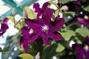 Fotos Waldreben Hautnah Blütenknospe Violett Blüte