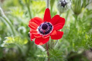 Hintergrundbilder Hautnah Windröschen Rot Unscharfer Hintergrund Blüte