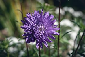 Fotos Hautnah Astern Unscharfer Hintergrund Violett Blüte